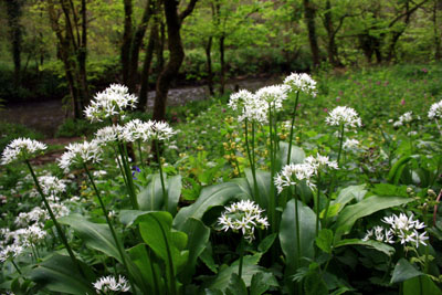 wild_garlic_denham_woods